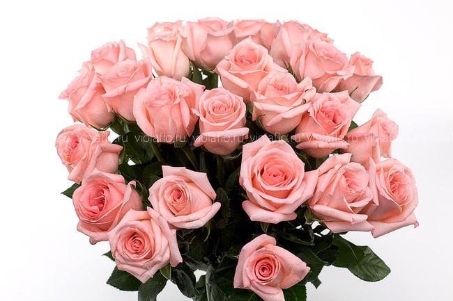 Розовые розы 60 см крупный бутон