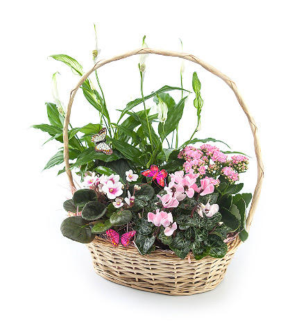 Корзина комнатных цветов «Вечная Англия»