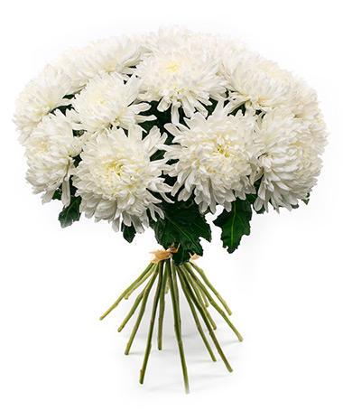 Одноголовая хризантема «Антонов»