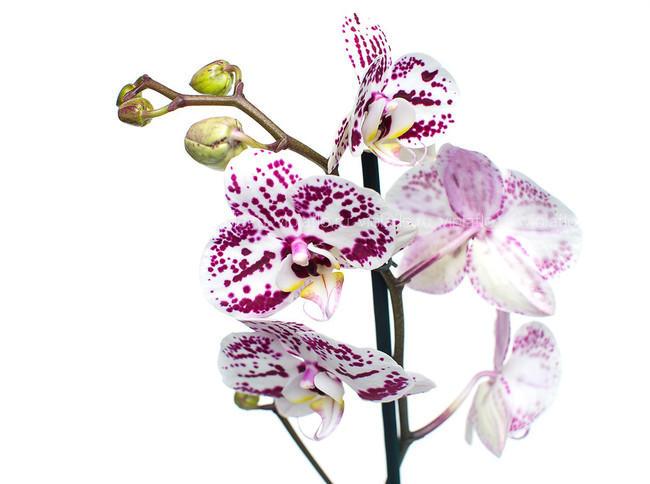 Орхидея V.1