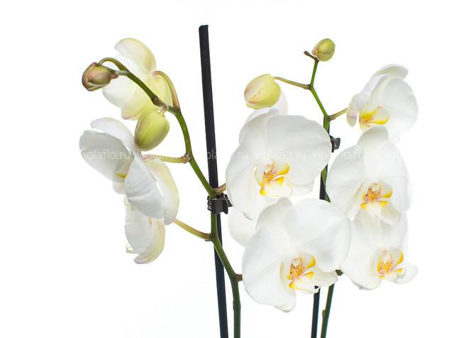 Орхидея V.2